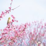 山本周五郎人情時代劇「初蕾」感想・泣ける!感動!歌声はキャンディーズ蘭ちゃん